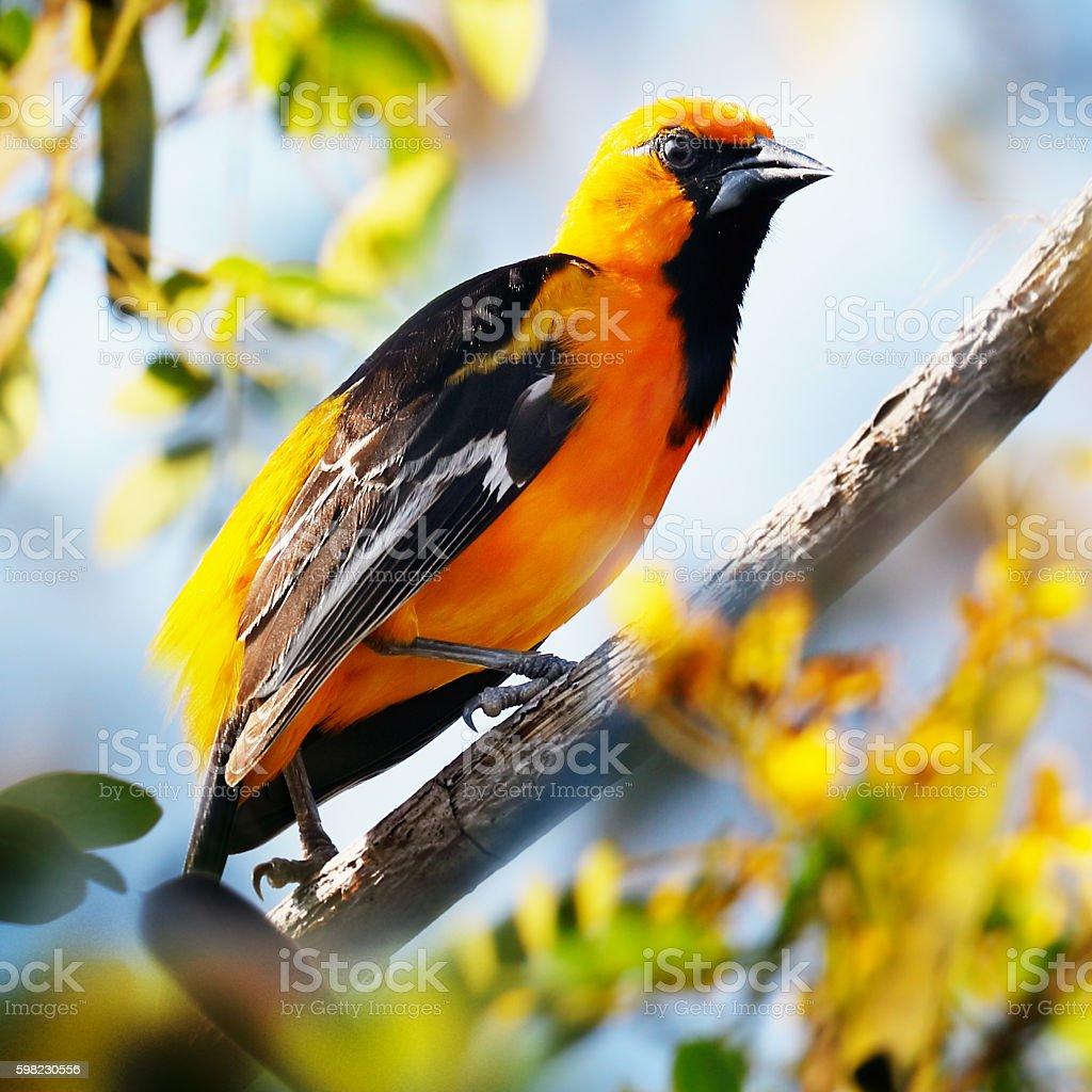 Streak-backed oriole sitting in a tree foto royalty-free