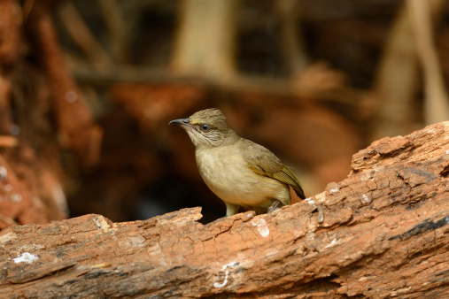 Streakeared Bulbul Stock Photo - Download Image Now