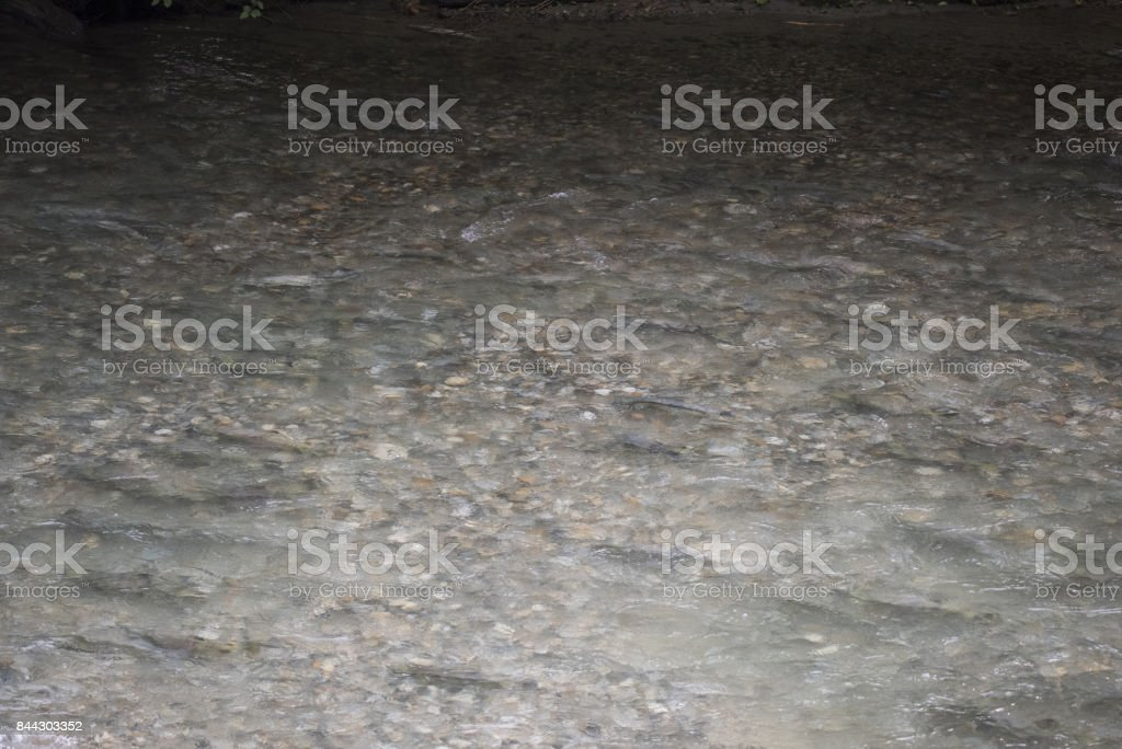 Stream full of salmon stock photo