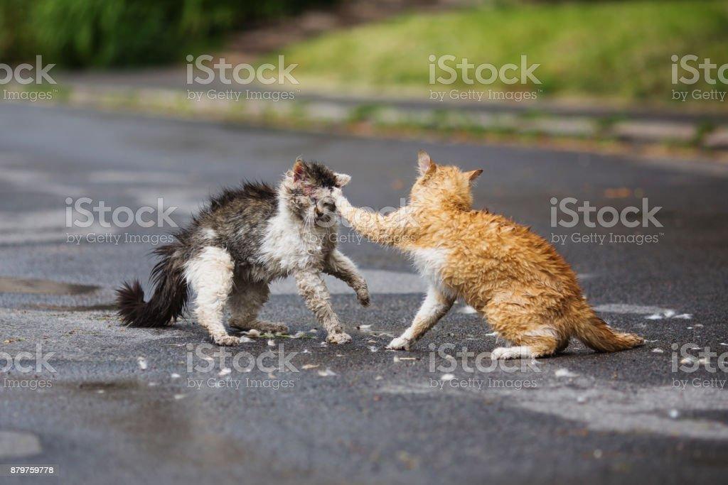 Street cats are fighting on the street. Orange and white gray wet cats are fighting on the road. Aggressive animals stock photo