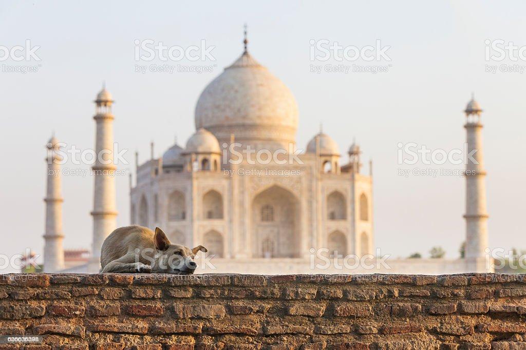 Street dog in front of Taj Mahal stock photo