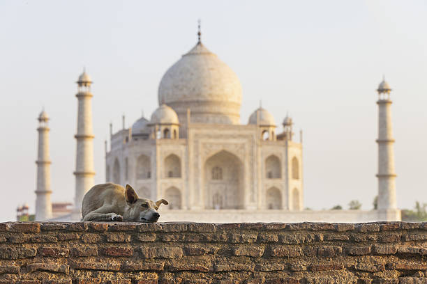 Street dog in front of Taj Mahal stock photo
