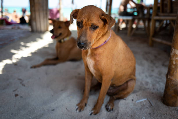 Street dog in Koh Lipe, Thailand. stock photo