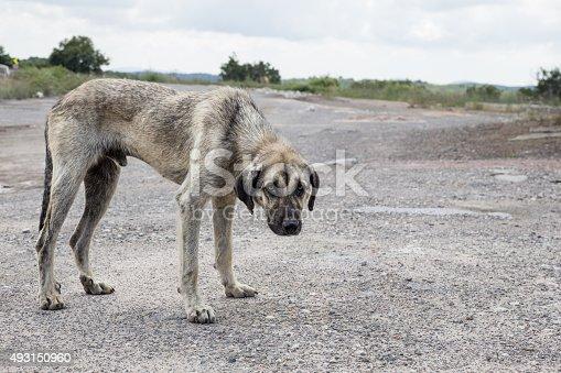 istock street dog 493150960