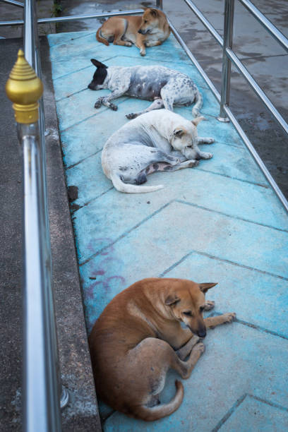 street dog Thai street dogs sleeping on handicapped ramps deferential stock pictures, royalty-free photos & images