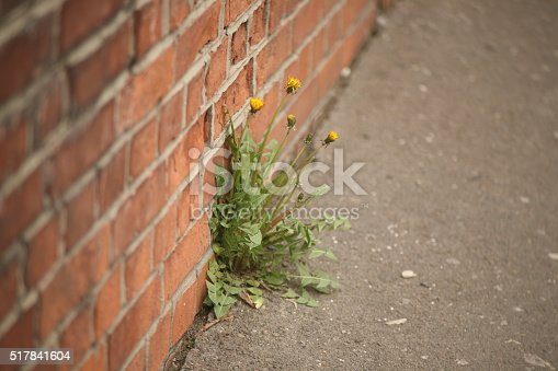 Wall of bricks with a plant Dandelion growing from the asphalt. Concept: Power of Nature