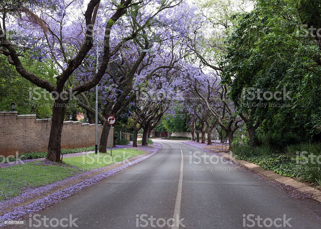 Street Lined With Jacaranda Trees Stock Photo More Pictures Of