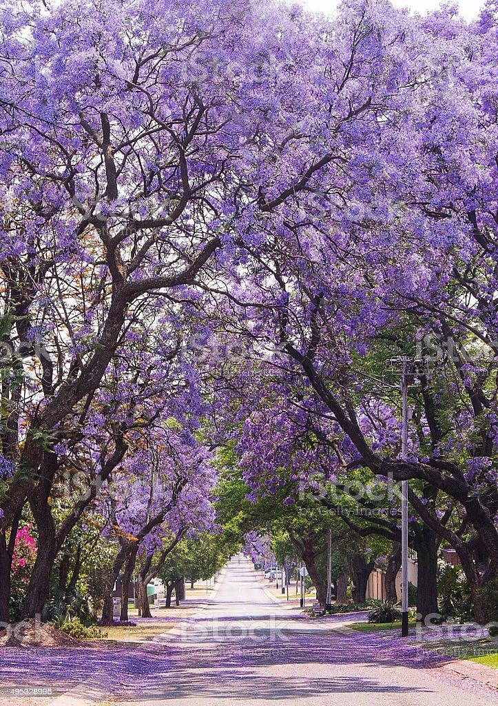 Street of beautiful purple jacaranda in bloom. Spring in South Africa. stock photo