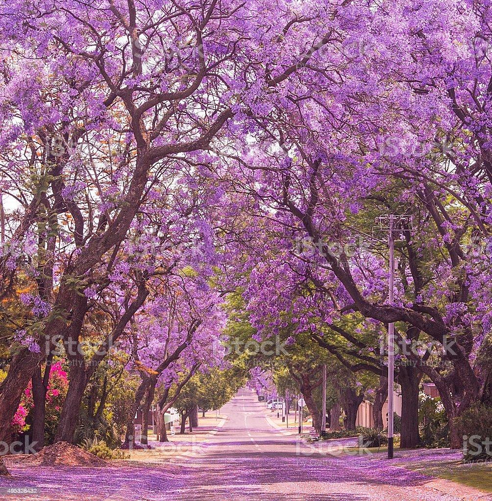 Street of beautiful violet vibrant jacaranda in bloom. Spring in Pretoria. stock photo
