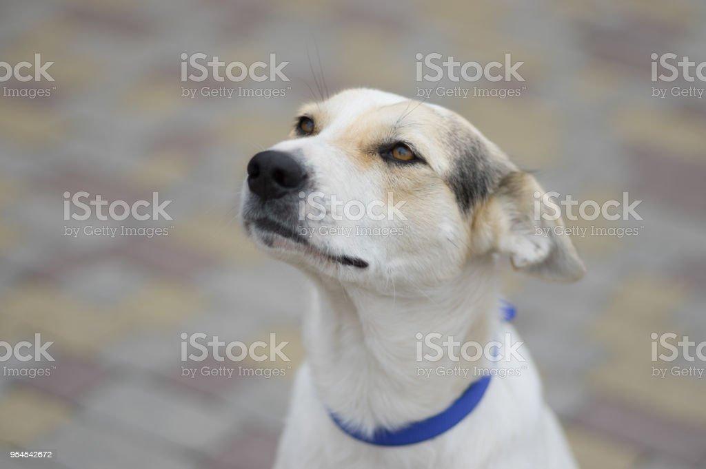 Calle retrato de perro blanco se cruzan buscando y soñando con volar - foto de stock
