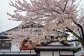 Street view of Kakunodate in springtime cherry blossom season sunny day morning. Kakunodate is famous by the Bukeyashiki (samurai residences). Semboku District, Akita Prefecture, Japan