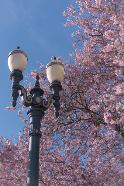 Streetlight lamp post in Portland Oregon surrounded by blooming spring cherry bloossoms stock photo