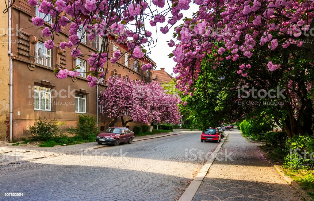 streets of Uzhgorod in cherry blossom stock photo
