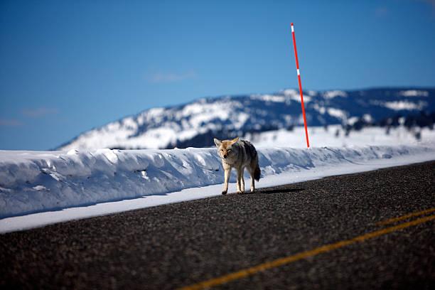 Streetwalker - Coyote (Yellowstone NP) stock photo