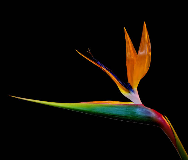 Strelitzia against white stock photo