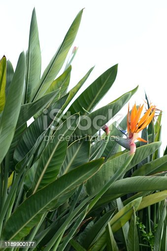 Strelitzia beautiful bird of paradise tropical flower, tranquil dawn, green, copy space