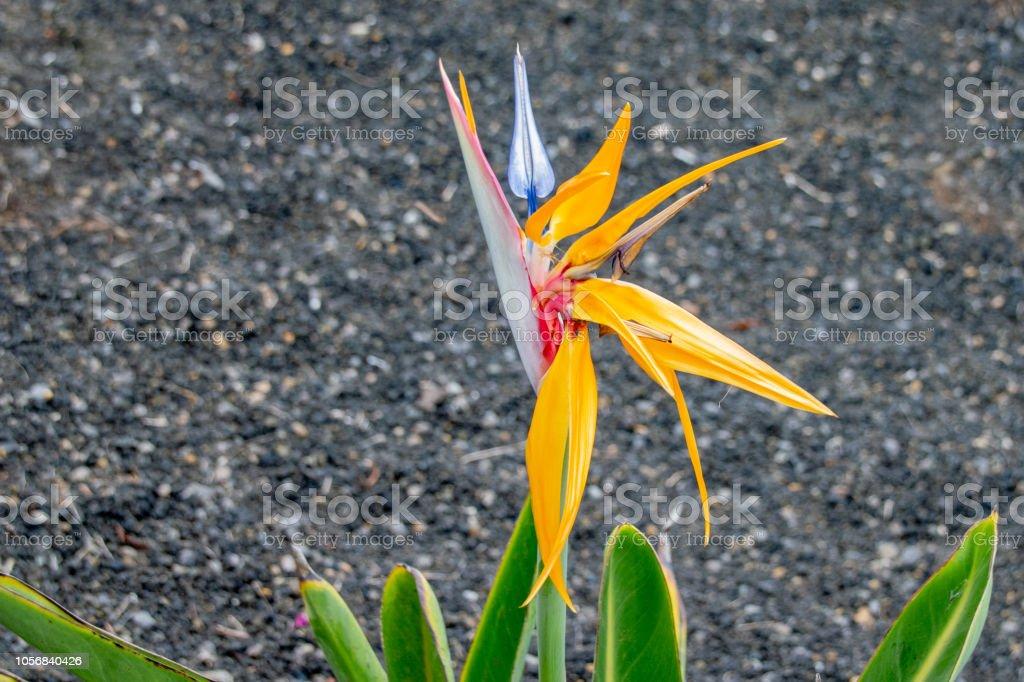 Strelitzia, bird of paradise flower stock photo