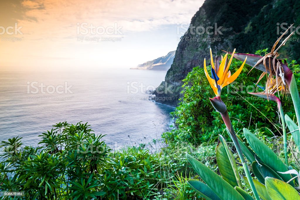 Strelitzia blooming on Madeira, Portugal stock photo