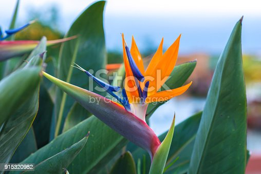 Strelitzia blossom - traditional flower of Madeira island