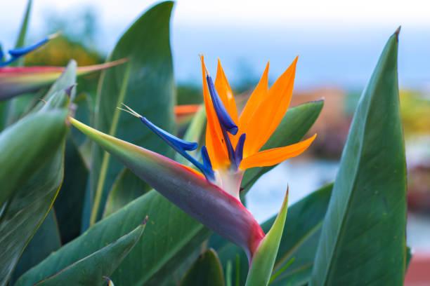 Strelitzia blossom - traditional flower of Madeira island stock photo