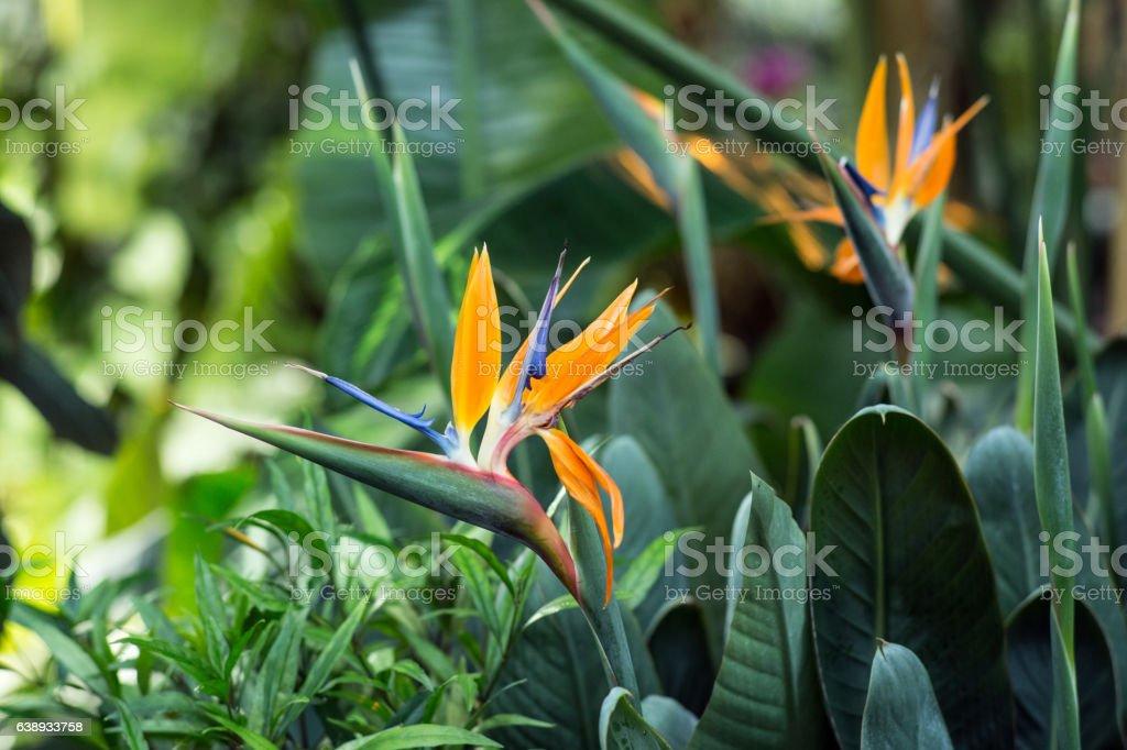 Strelitzia flower in the greenhouse stock photo