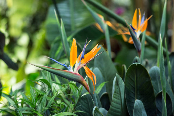 Strelitzia flower in the greenhouse stock photo
