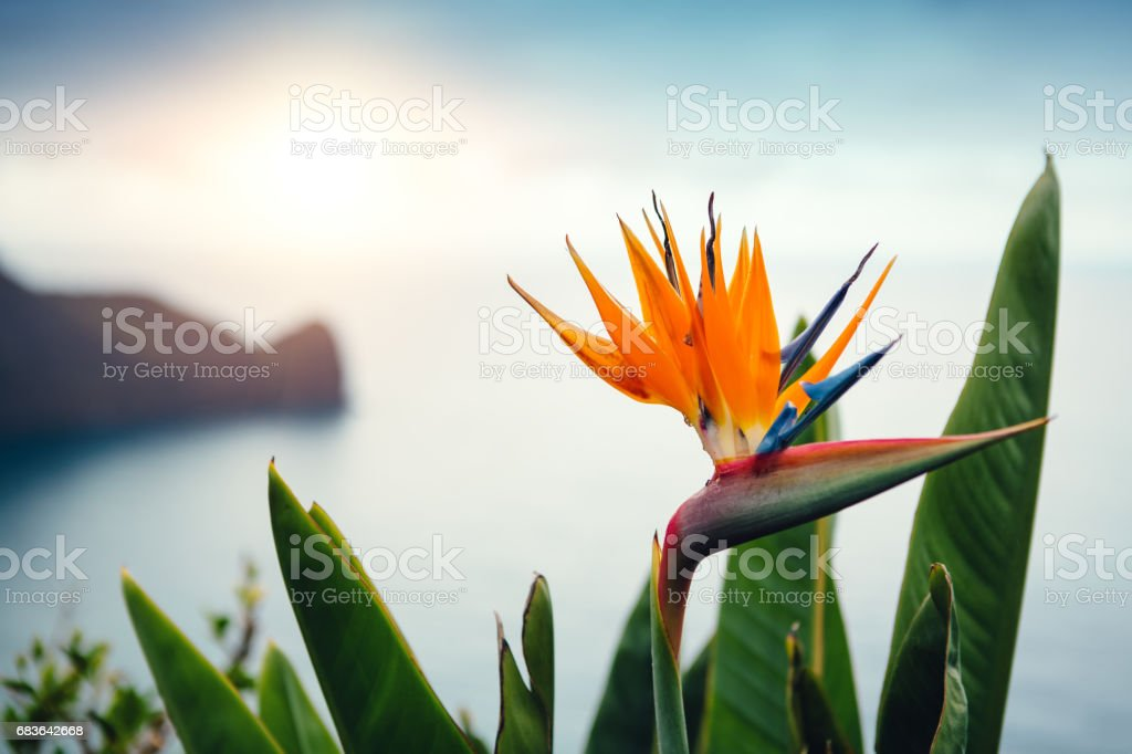 Strelitzia Flower On Madeira Island stock photo