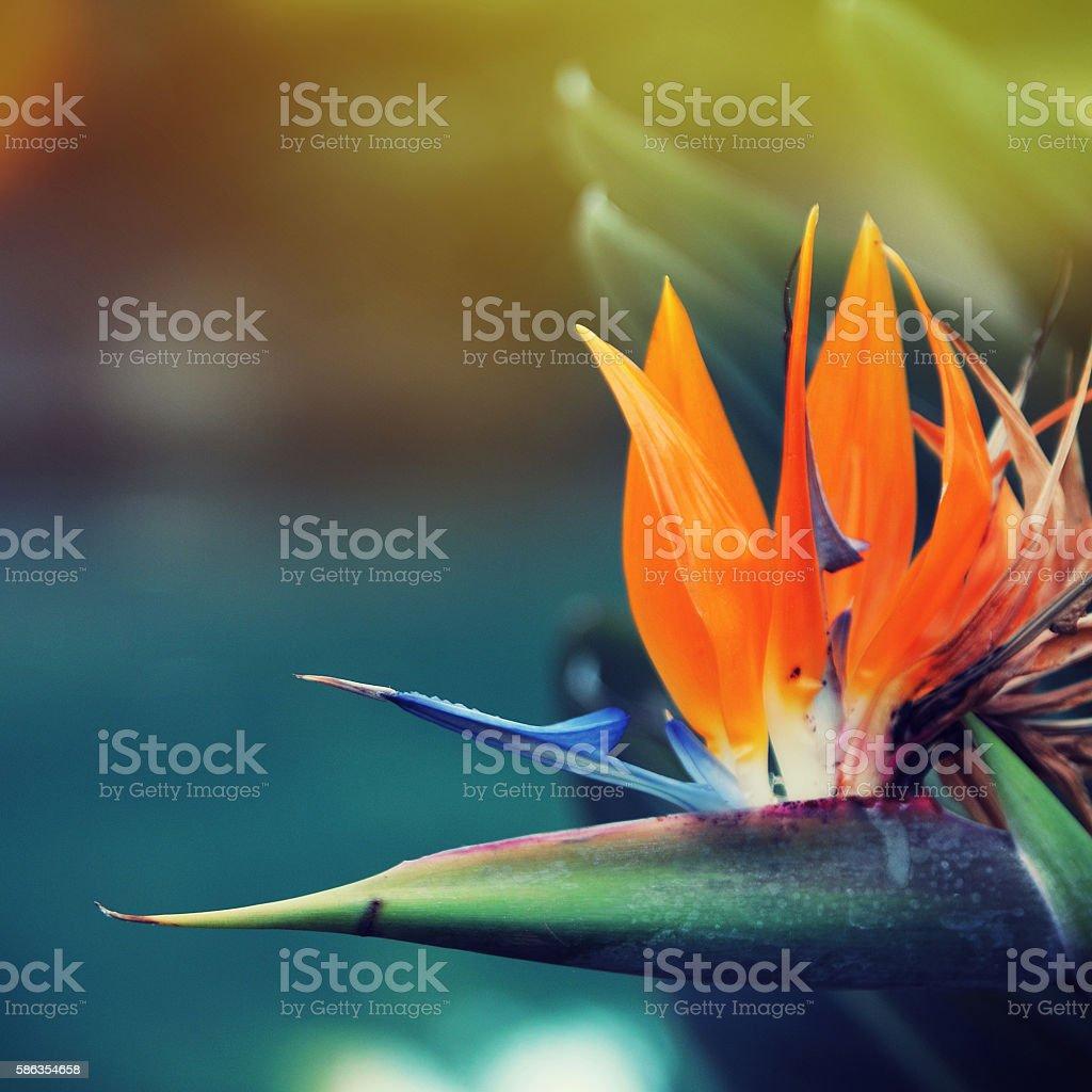 Strelitzia flower stock photo