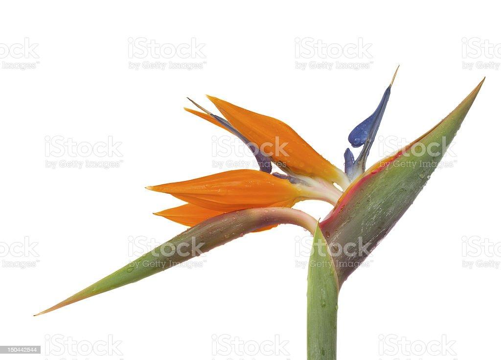 Strelitzia stock photo