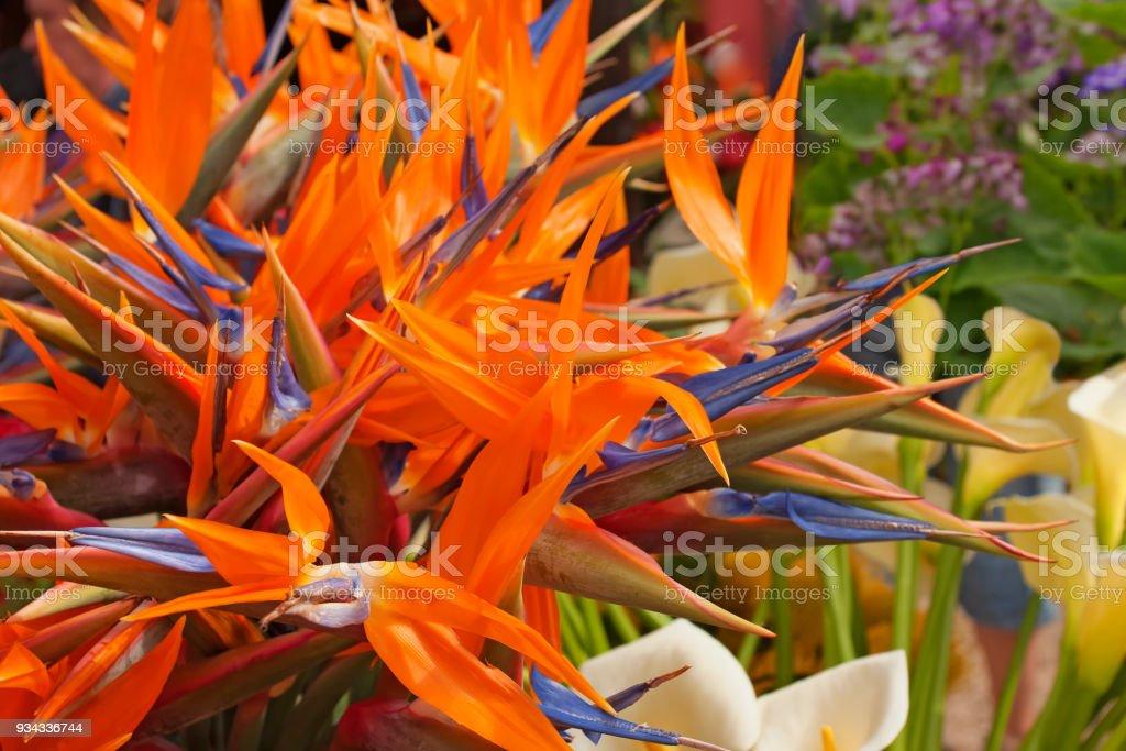 Strelitzia reginae. Common names include strelitzia, crane flower or bird of paradise stock photo