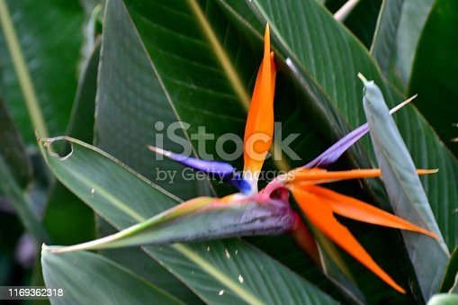 The common names of strelitzia reginae include crane flower and bird of paradise. It got such names for its exotic flowers that look like the head of a crane.