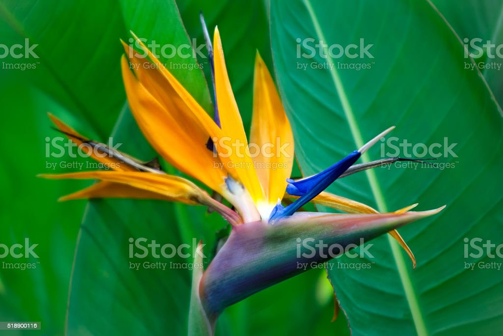 Strelitzia Reginae flower closeup stock photo