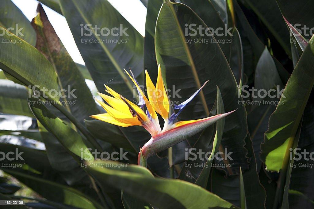 Strelitzia reginae flower in botanical garden stock photo