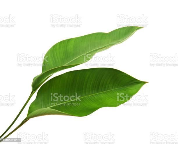 Photo of Strelitzia reginae, Heliconia, Tropical leaf, Bird of paradise foliage isolated on white background, with clipping path