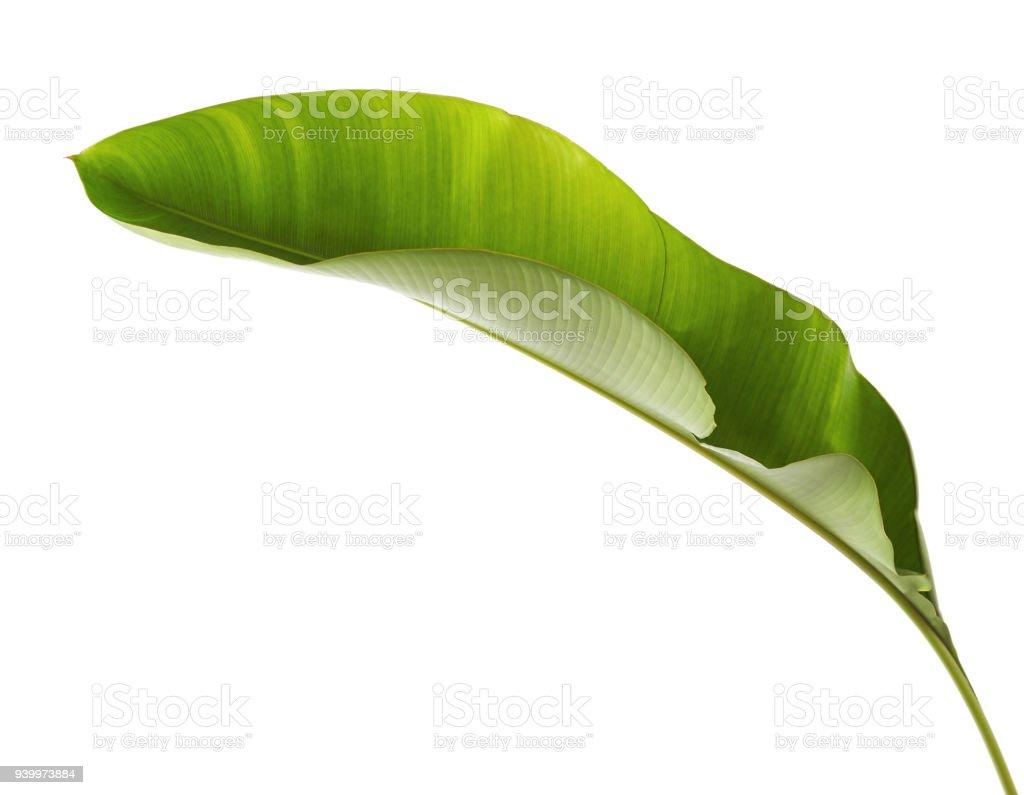 Strelitzia reginae, Helicônia, folha Tropical, folhagem de ave do paraíso isolada no fundo branco, com traçado de recorte - foto de acervo