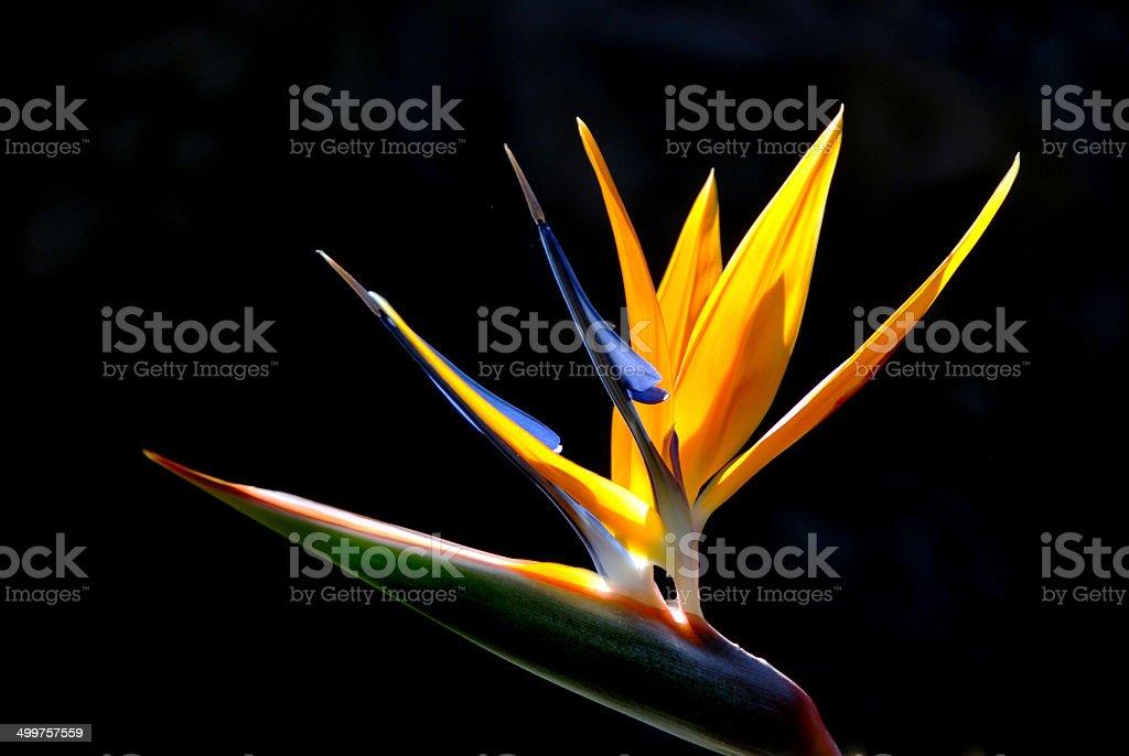 Strelitzia reginae (ave del paraíso flor) - foto de stock