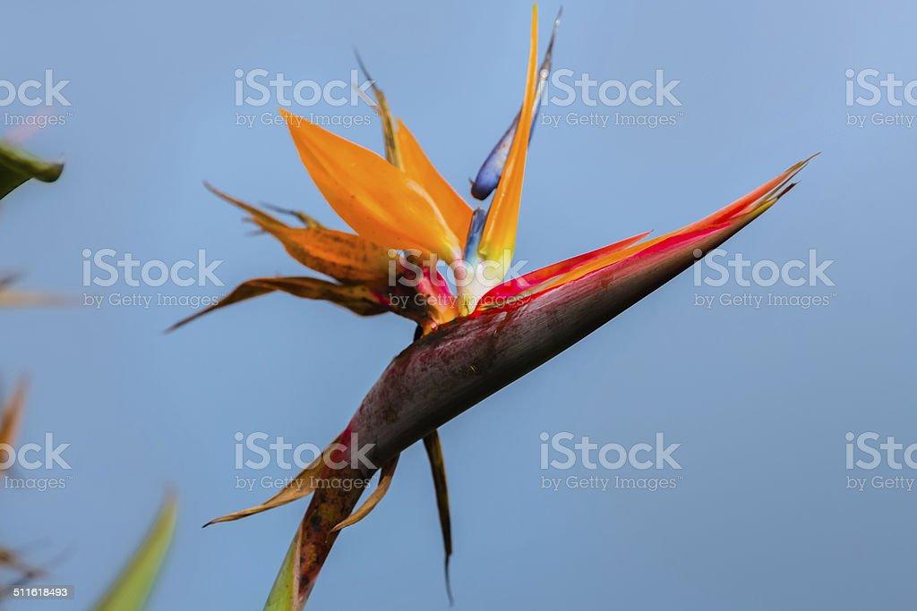 Strelitzia reginae stock photo