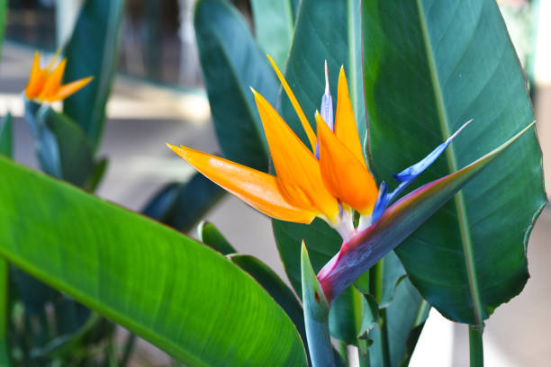 Strelitzia - traditional flower of Madeira island. stock photo