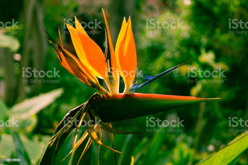 Strelitziaceae stock photo