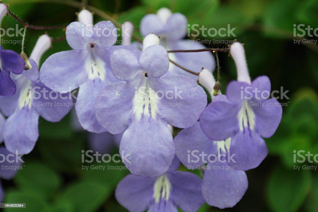 Streptocarpus stock photo