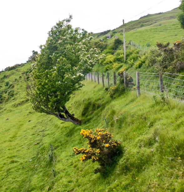 Stressed Costal Rowan, County Antrim, Northern Ireland stock photo