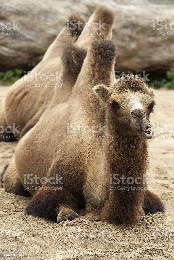 Stretch Camel royalty-free stock photo