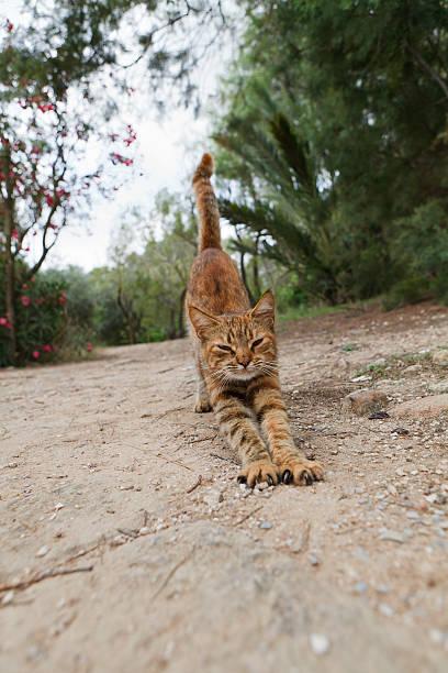 stretching cat - gedehnte ohren stock-fotos und bilder