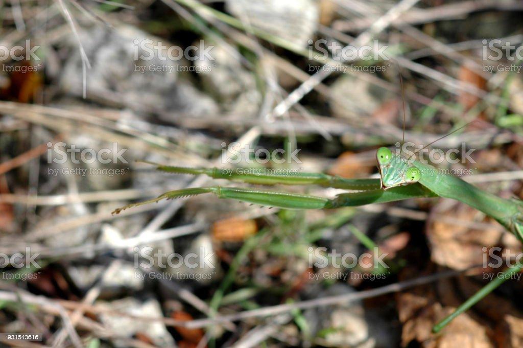 Stretching Mantis, stock photo