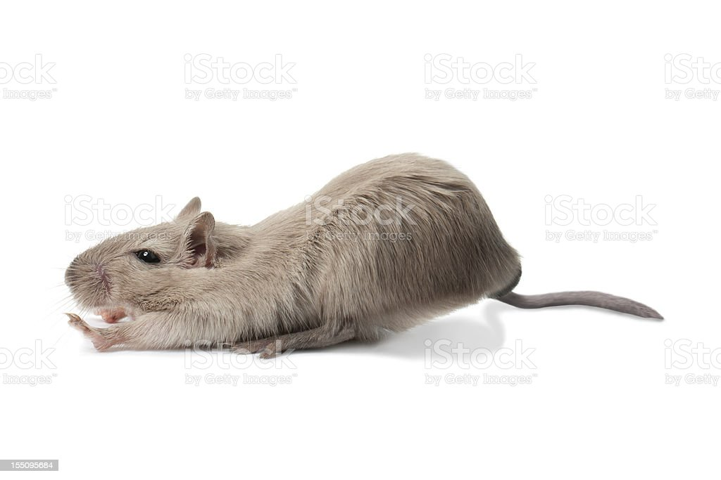 Stretching mouse stock photo