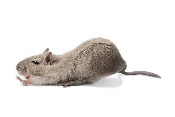 Étirer la souris - Photo