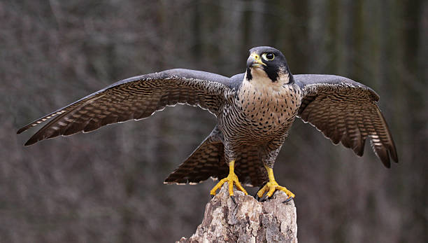 Stretching Peregrine Falcon stock photo