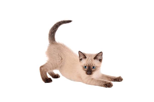 dehnung siemese katzenjunges - gedehnte ohren stock-fotos und bilder
