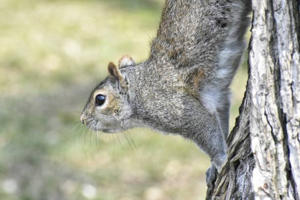 Stretching Squirrel stock photo
