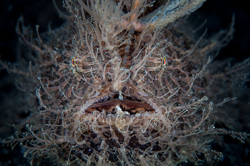 istock Striated Frogfish Face 1194746892